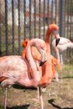 Φλαμίγκο, ροζ, πουλί, φτέρωμα, δύο, στοκ φωτογραφία