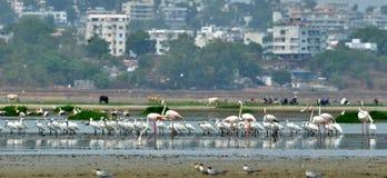 Φλαμίγκο σε Bhopal στοκ εικόνες