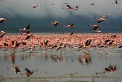 Φλαμίγκο στη λίμνη Nakuru στοκ φωτογραφίες