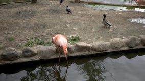 Φλαμίγκο στο ζωολογικό κήπο κατά 4k την άποψη φιλμ μικρού μήκους
