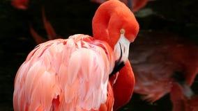 Φλαμίγκο στο ζωολογικό κήπο απόθεμα βίντεο