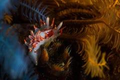 Φλογερό amoenula Okenia nudibranch υποβρύχιο Στοκ φωτογραφίες με δικαίωμα ελεύθερης χρήσης