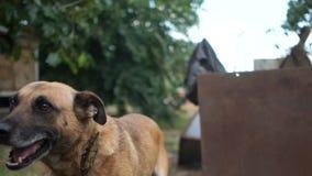 Φλοιοί σκυλιών αλυσίδων στους περαστικούς Φτωχό του χωριού προαύλιο και η φρουρά του Στενό πορτρέτο ενός καθαρής φυλής σκυλιού απόθεμα βίντεο