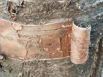 Φλοιός δέντρων κερασιών Στοκ φωτογραφίες με δικαίωμα ελεύθερης χρήσης