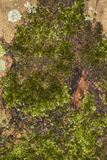 Φλοιός δέντρων που καλύπτεται με το βρύο Στοκ εικόνες με δικαίωμα ελεύθερης χρήσης