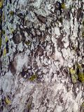Φλοιός δέντρων της Apple Στοκ Φωτογραφία