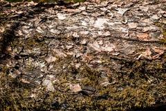 Φλοιός δέντρων ως υπόβαθρο Πράσινο βρύο στο παλαιό δέντρο Φλοιός backgrounf Ξύλινη σύσταση Στοκ Εικόνες