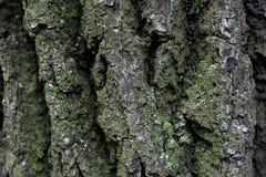 Φλοιός ενός δέντρου Στοκ Εικόνα