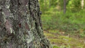 Φλοιός ενός ραγισμένου δέντρου πεύκων απόθεμα βίντεο