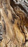 Φλοιός σε ένα αρχαίο δέντρο cottonwood στοκ φωτογραφία