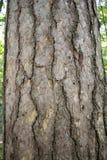 Φλοιός σύστασης ενός μεγάλου δέντρου ανεμοδαρμένου μέχρι το χρόνο Στοκ Φωτογραφίες