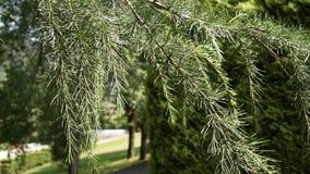 Φλοιός της κινηματογράφησης σε πρώτο πλάνο δέντρων κωνοφόρων απόθεμα βίντεο