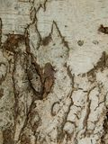 Φλοιός του δέντρου σημύδων στοκ φωτογραφίες με δικαίωμα ελεύθερης χρήσης