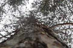 Φλοιός του ξύλου το χειμώνα Στοκ Εικόνες