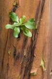 φλοιός arbutus Στοκ Εικόνες