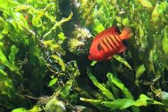 Φλόγα angelfish Στοκ Εικόνες
