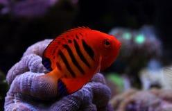 Φλόγα Angelfish - loricula Centropyge Στοκ Εικόνα