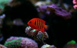 Φλόγα Angelfish - loricula Centropyge Στοκ φωτογραφίες με δικαίωμα ελεύθερης χρήσης
