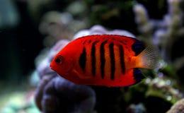 Φλόγα Angelfish - loricula Centropyge Στοκ Φωτογραφία