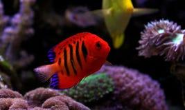 Φλόγα Angelfish - loricula Centropyge Στοκ εικόνα με δικαίωμα ελεύθερης χρήσης