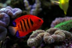 Φλόγα Angelfish - loricula Centropyge Στοκ εικόνες με δικαίωμα ελεύθερης χρήσης