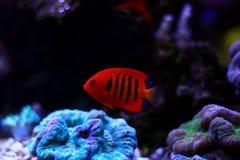 Φλόγα Angelfish - loricula Centropyge Στοκ Εικόνες
