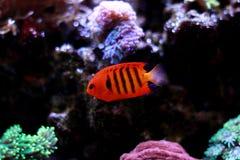 Φλόγα Angelfish - loricula Centropyge Στοκ Φωτογραφίες