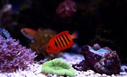 Φλόγα Angelfish - loricula Centropyge Στοκ φωτογραφία με δικαίωμα ελεύθερης χρήσης