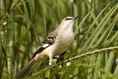 Φλώριδα Mockingbird Στοκ φωτογραφία με δικαίωμα ελεύθερης χρήσης