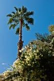 Φοίνικας ενάντια στο μπλε ουρανό στον κήπο Majorelle στο Μαρακές, Μαρόκο Στοκ Εικόνες