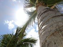 Φοίνικας κάτω από το carribean ήλιο Στοκ Εικόνα