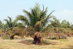 Φοίνικας, κήπος φοινικών δέντρων πετρελαίου, φυτεία φοινικών στοκ εικόνες