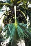 Φοίνικας και palmyra- δέντρο χυμού φοινικόδεντρου φύσης Στοκ φωτογραφίες με δικαίωμα ελεύθερης χρήσης