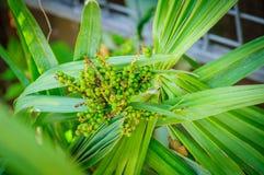 φοίνικας καρπών Πράσινα φύλλα και φρούτα φοινικών Στοκ φωτογραφίες με δικαίωμα ελεύθερης χρήσης