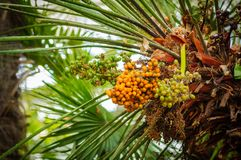 φοίνικας καρπών Πράσινα φύλλα φοινικών και πορτοκαλιά και πράσινα φρούτα Στοκ εικόνα με δικαίωμα ελεύθερης χρήσης