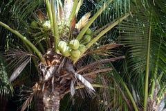 Φοίνικας καρύδων με τα φρούτα καρύδων Στοκ Εικόνες