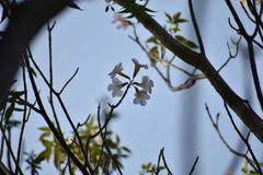 Φοίνικας λουλουδιών Στοκ φωτογραφία με δικαίωμα ελεύθερης χρήσης