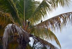 Φοίνικας με να σκαρφαλώσει τα πουλιά Varadero, Κούβα Στοκ εικόνα με δικαίωμα ελεύθερης χρήσης