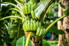 Φοίνικας με τις πράσινες μπανάνες Στοκ Εικόνες