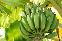 φοίνικας μπανανών Στοκ Εικόνες
