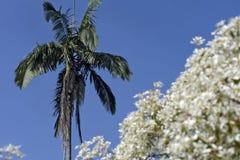 Φοίνικας που πλαισιώνεται από τα άσπρα λουλούδια Στοκ φωτογραφία με δικαίωμα ελεύθερης χρήσης