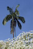 Φοίνικας που πλαισιώνεται από τα άσπρα λουλούδια Στοκ Εικόνες