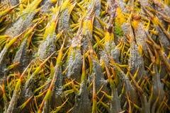 Φοίνικας σάγου Στοκ εικόνες με δικαίωμα ελεύθερης χρήσης
