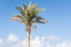 Φοίνικας στο μπλε ουρανό Στοκ εικόνες με δικαίωμα ελεύθερης χρήσης