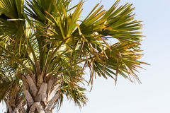 Φοίνικας της Ανατολικής Ακτής στην παραλία με τη τοπ σφιχτή συγκομιδή ουρανού στο Myrtle Beach Ανατολική Ακτή Στοκ Εικόνες