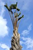 φοίνικας τροπικός Στοκ φωτογραφία με δικαίωμα ελεύθερης χρήσης