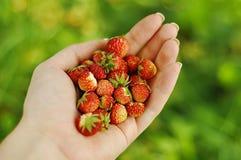 Φοίνικας των φραουλών Στοκ Εικόνες