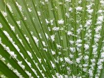 φοίνικας φύλλων χιονώδης Στοκ φωτογραφία με δικαίωμα ελεύθερης χρήσης