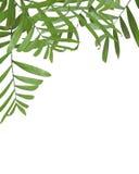 φοίνικας φύλλων Στοκ εικόνα με δικαίωμα ελεύθερης χρήσης