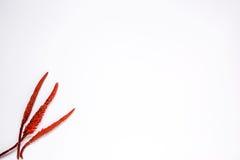 φοίνικας φύλλων τροπικός κόκκινο λουλουδιών Στοκ φωτογραφίες με δικαίωμα ελεύθερης χρήσης